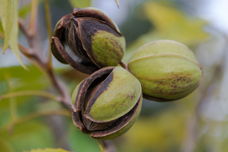 pecan nuts in the organic garden plant Foto de archivo - 99853357