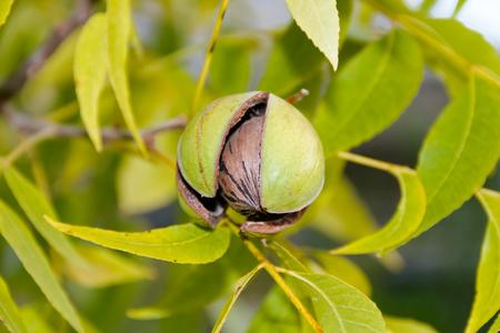 pecan nuts in the organic garden plant Foto de archivo