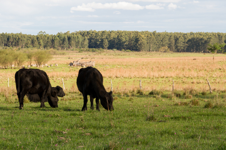 cows grazing in the green Argentine countryside