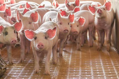 Criadero industrial de cerdos para consumir su carne Foto de archivo