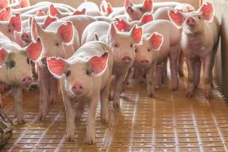 industrial pigs hatchery to consume its meat Stock Photo