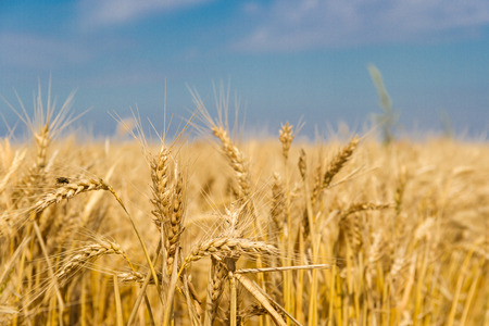 golden wheat by the sun in the field