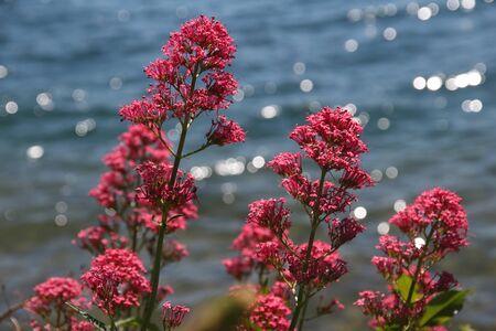 red valerian flowered in european spring on water background