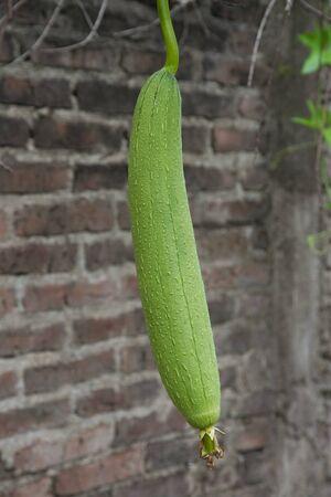 organic luffa plantation known as vegetable sponge