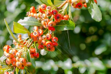 branch of wild bushes with red and yellow crataegus fruits Reklamní fotografie