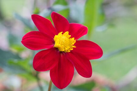 detail of red Dahlia coccinea with yellow center and unfocused background