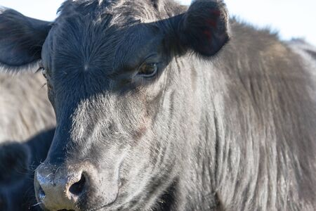 portraits of black cows grazing in the Argentine countryside