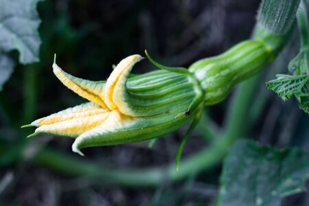 female yellow flower of the pumpkin opening with the fruit