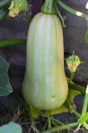 unripe green squash or pumpkin on the organic garden plant Stok Fotoğraf