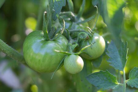 unripe green tomatoes on organic garden plant