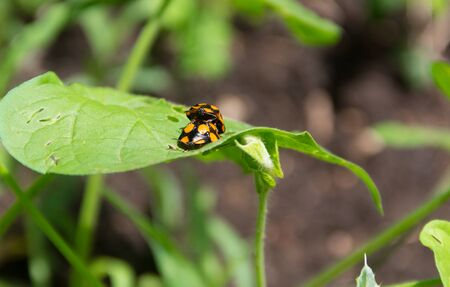 Macro shot of two orange ladybugs on a green leaf in a field during daylight