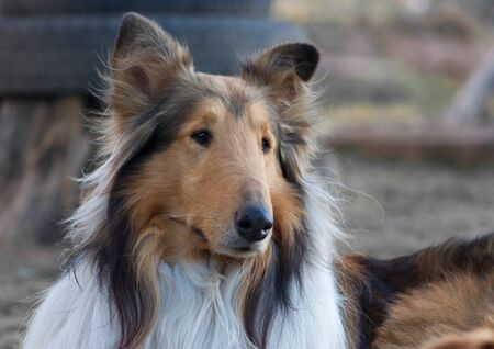 A closeup shot of a rough collie sitting on the ground outdoors during daylight