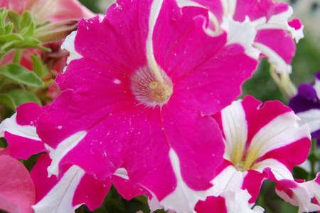 pink flowers in the garden Zdjęcie Seryjne