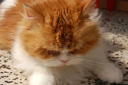 the persian cat is lying on the floor Zdjęcie Seryjne