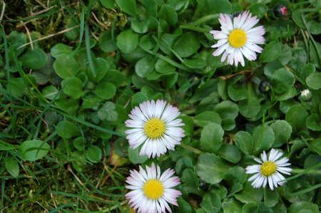 daisies in the meadow Zdjęcie Seryjne