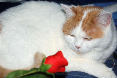 cat and the red rose