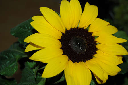 yellow sunflower for decoration