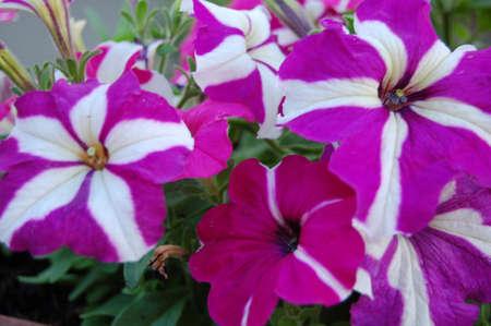a lot of lilac flowers Zdjęcie Seryjne
