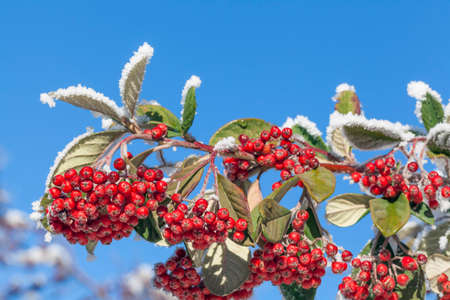 Close-up photograph of snowy rowan berries in a sunny day in winter photo