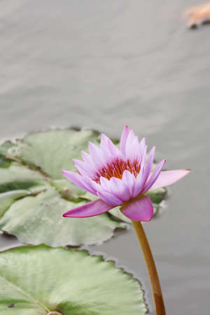 Water Lily  Stock Photo - 9077363