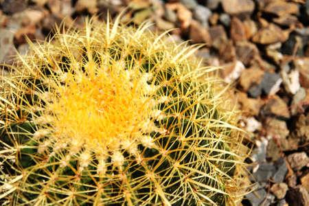 Cactus under Sunshine photo