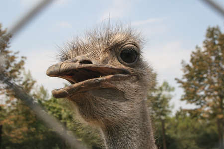 Slobozia, Romania, August 30, 2009: An ostrich is seen through a fence in the thematic park of Hermes Farm in Slobozia. Editorial