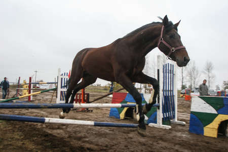 racehorses: Campina, Romania, November 1, 2009: A horse jumps over the obstacles before a horse jumping competition in Campina. Editorial