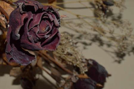 rosas rojas: rosas rojas secas Foto de archivo