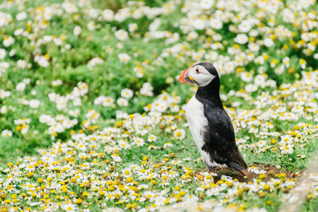 Atlantic Puffin standing in front of its rabbit hole nest in Skomer Island Pembrokeshire West Wales UK