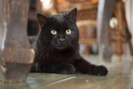 Young black bombay cat with yellow eyes lying on the floor inside the house.