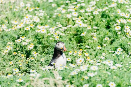 Atlantic Puffins standing in the middle of a chamomile field on Skomer Island in Pembrokeshire, West Wales UK.