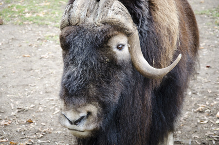 in ox: Musk ox Stock Photo