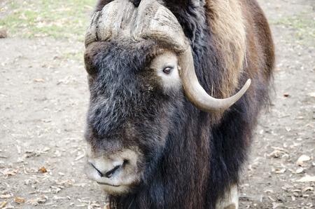 ox: Musk ox Stock Photo