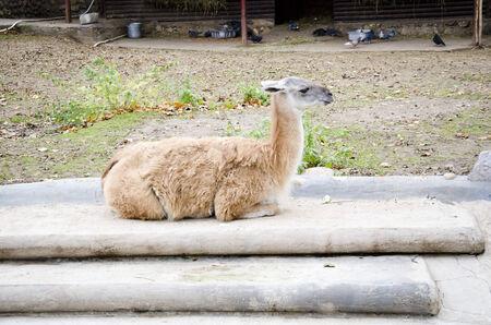lama: Animal lama
