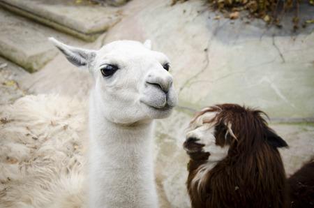 the lama: Lama Stock Photo
