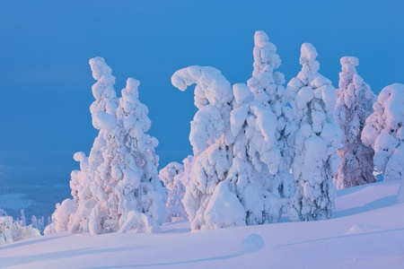 finnish: Snow covered trees at sunset Stock Photo