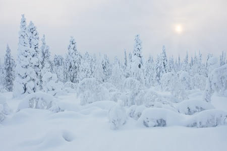 Cold and snowy winter in Lapland photo