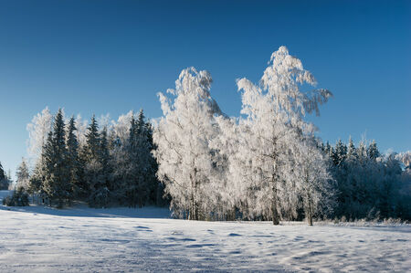 Frosted birches on a cold winter morning