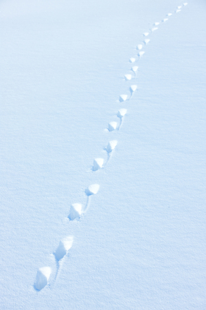 Animal trail in snow in a sunny day Stock Photo