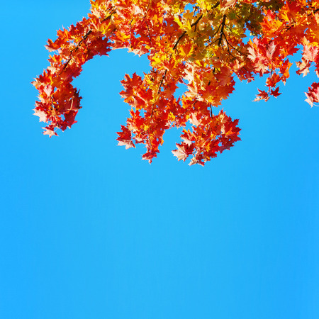 Colourful maple leaves Stock Photo