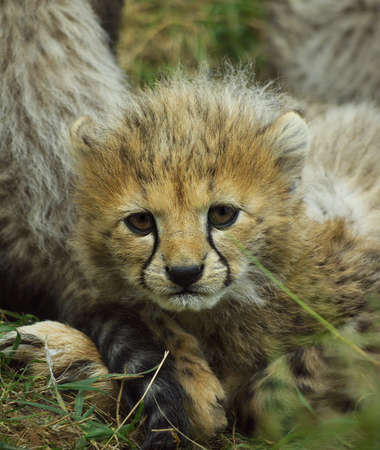 chita: Cheetah Cub Foto de archivo