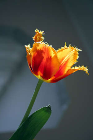 Lonely tulip on the sun photo