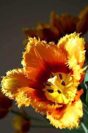 Tulip in the sun photo