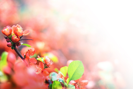 Bright flowering Japanese quince or Chaenomeles japonica. Branch covered with lot of red flowers on blurred green background with leaves bokeh. Bright nature design with white copy space
