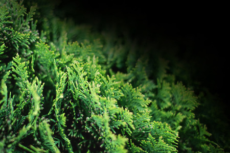 Closeup of green christmas evergreen leaves of Thuja trees on black background. Thuja twig, Thuja occidentalis, Platycladus orientalis, Chinese thuja. Evergreen plant. Copy space for text