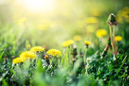 Gros plan sur un champ vert avec des pissenlits jaunes éclairés par la lumière du soleil chaude. Fond de fleurs de printemps. Mise au point douce. Banque d'images