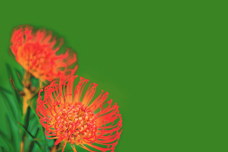 Two bright red tropical flowers on green background with copy space for text. Close up, isolated. Banco de Imagens