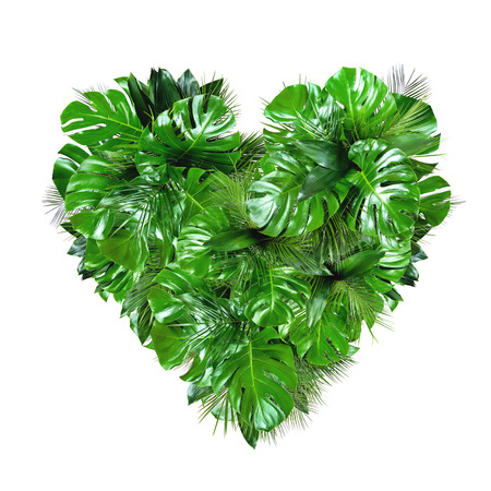 Tropical jungle plant leafs heart shape isolated on white background with clipping path. Palm and monstera greenery. Banner flat lay. Design template.
