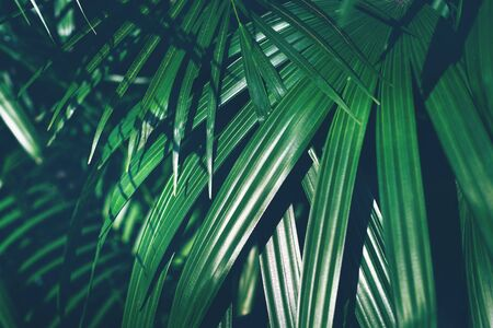 Fresh tropical green palm leaves background. Botanical hawaii nature. Natural lush greenery texture. Exotic green tropic forest. Abstract summer backdrop.