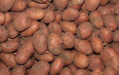 russet potato: Red potatoes  Stock Photo
